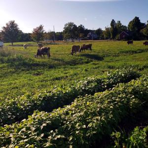 Benedikt Dairy, Goffstown, NH